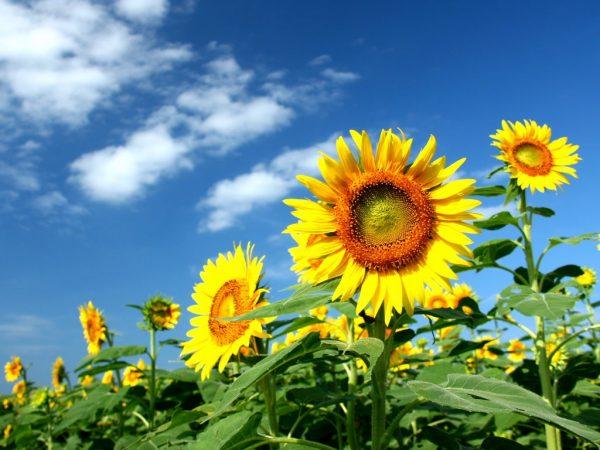 ひまわり向日葵綺麗可愛い黄色の夏の花