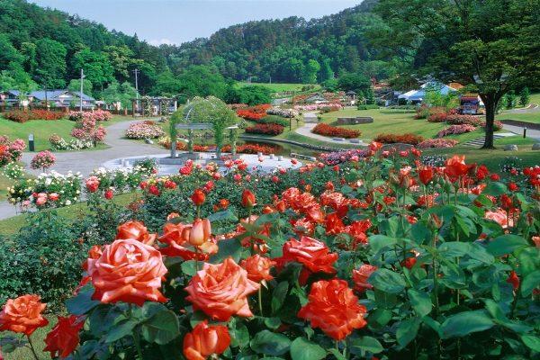 新潟でプロポーズ 東沢バラ公園