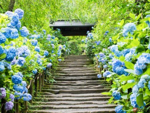 新潟でプロポーズ 明月院あじさい寺
