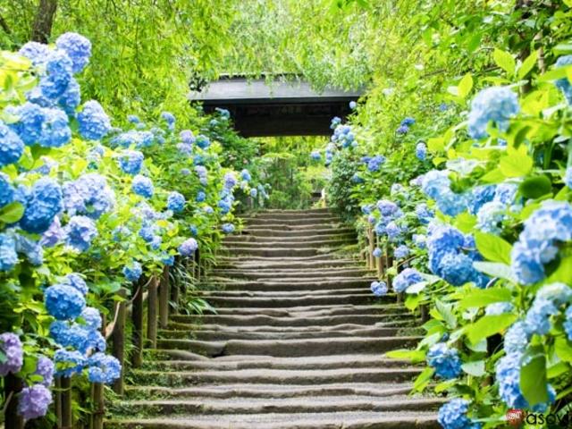 美しい季節折々の花々に囲まれて最高のサプライズプロポーズをするなら明月院あじさい寺