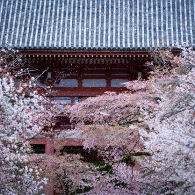新潟のブローチで手に入る、にわか結婚指輪、初桜(ういざくら)のモチーフ京都、醍醐寺の桜、婚約指輪・結婚指輪に宿る桜のストーリー