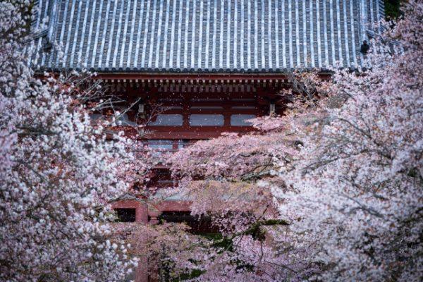 新潟で人気の結婚指輪と婚約指輪 BROOCH 俄(にわか) | 新潟のブローチで手に入る、オシャレジュエリーNIWAKAの可愛い結婚指輪、初桜(ういざくら)のモチーフは京都、醍醐寺の桜です。ダイヤモンドエンゲージリングとカッコいいマリッジリングに宿る桜のストーリー