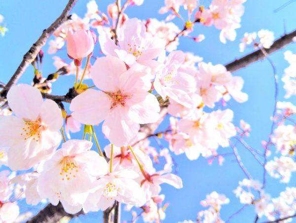 新潟婚約指輪モチーフで人気の桜はにわかブライダルジュエリー初桜(ういざくら)