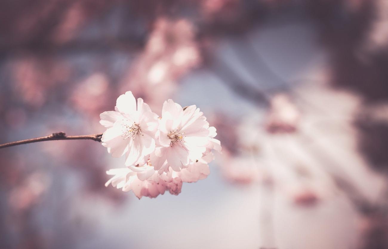 新潟で人気の結婚指輪と婚約指輪 BROOCH 俄(にわか)   新潟の和リングのシャレジュエリーブランドNIWAKAで永久を誓う桜の可愛い結婚指輪