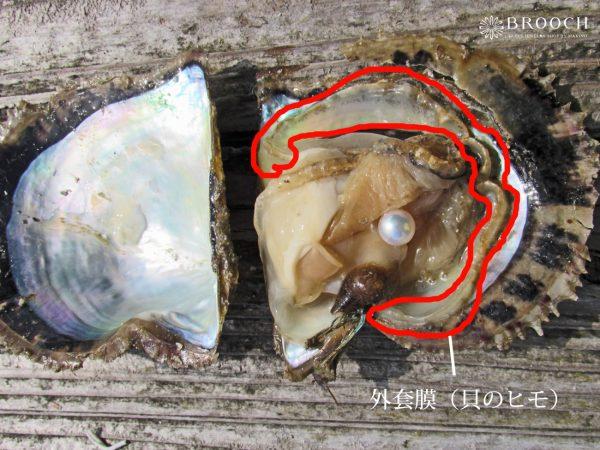 外套膜の分泌物で貝殻のを形成真珠は真珠層で覆われている