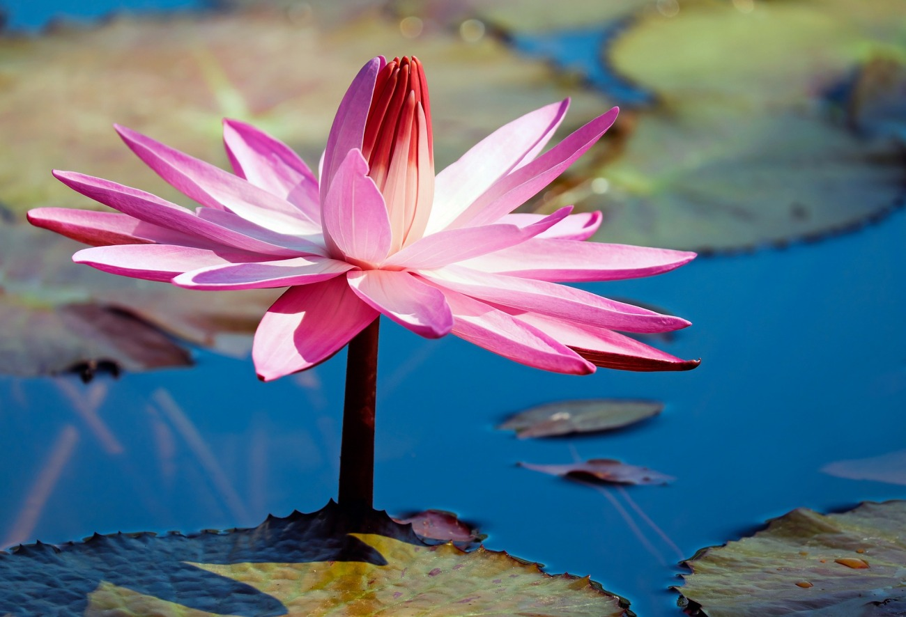 新潟で人気の結婚指輪と婚約指輪 BROOCH 俄(にわか) | オシャレジュエリーNIWAKAのダイヤモンドエンゲージリングとともに睡蓮の花の決意の輝きを優しく包み込む