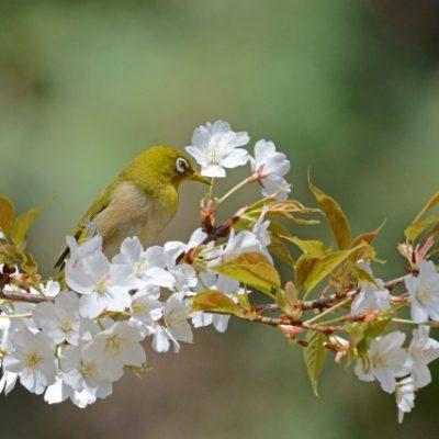 にわか【俄 ・NIWAKA】花咲(はなえみ)エンゲージリングは桜の花モチーフがかわいくて人気